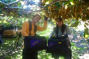 Kiwifruit Picking, North Island