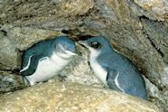 Oamaru blue penguin