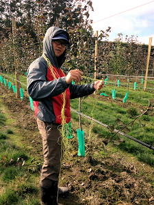 Orchard seasonal work